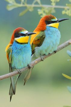 "These are Bee Eaters I believe. ""We can be truly useful to others if we follow that which enriches and inspires us."" —  Piero Ferrucci by ~FrancoBorsiWildLife"