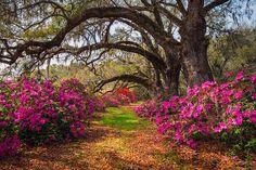 Photo about South Carolina Spring Flowers Charleston SC Lowcountry Scenic Nature Landscape with blooming pink azaleas and live oak trees with spanish moss. Image of charleston, azaleas, march - 76951067 Forest Flowers, Flowers Nature, Spring Flowers, Pastel Flowers, Magnolia Plantation, Magnolia Gardens, Magnolia Trees, South Carolina Art, Gardens