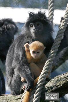 Chez les #langurs de Java, les bébés naissent orangés. Vers 3 ou 4 mois les langurs conservent cette couleur ou deviennent intégralement noir, c'est le hasard de la génétique !