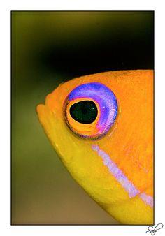 cor-anthias fish
