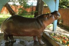 Salvadoran authorities said attackers entered the hippo's enclosure late at night and beat him severely. He died several days later.