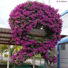 Photo : Bougainvillier (Bougainvillea spectabilis)                                                                                                                                                                                 Plus
