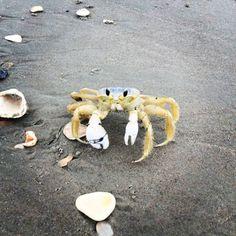 Sand Crab. Photo by Brett Tucker