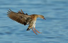 Plumed Whistling Duck (Dendrocygna eytoni) by Trevor Andersen on 500px