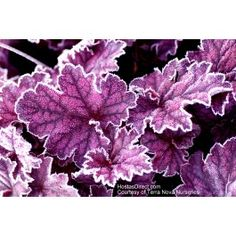 Gardening Autumn - Midnight Bayou - Frosty - click image to go to website - With the arrival of rains and falling temperatures autumn is a perfect opportunity to make new plantations Buy Plants, Shade Plants, Garden Plants, Outdoor Plants, Outdoor Gardens, Coral Bells Heuchera, Herbaceous Border, Leaf Coloring, Plantar