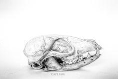 Fine art image of a cape fox skull