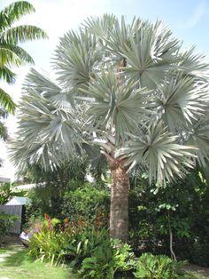 silver bismarckia palm | Bismarckia Palm