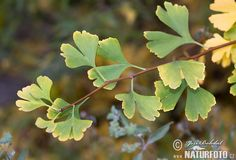 Ginkgo Tree Pictures, Ginkgo Tree Images | NaturePhoto