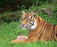 NATIONAL ANIMAL OF INDIA- Tiger (Panthera tigris)