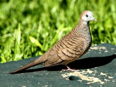 The zebra dove (Geopelia striata) also known as barred ground dove, is a bird of the dove family, Columbidae, native to Southeast Asia. Dove Pigeon, Mourning Dove, Zebras, Bird Watching, Amazing Nature, Beautiful Birds, Southeast Asia, Parrot, Cute Animals