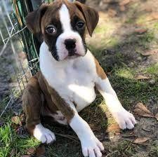 Boxer Puppies For Sale Waz Zap What Sapp 60172415563 For Sale