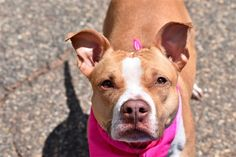 AT RISK TO BE DESTROYED 6/22/18 Chloe is at-risk of euthanasia and needs placement. Please consider opening your home today! Hello, my name is Chloe. My animal id is #30284. I am a female tan dog at the Brooklyn Animal Care Center. The shelter thinks I am about 3 years 2 weeks old. I came into the shelter as a owner surrender on 04-Jun-2018, with the surrender reason stated as animal behaviour - aggressive towards people. This pet needs a new hope rescue to help you adopt .