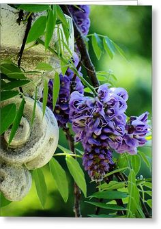 Wisteria And Column Greeting Card by Beth Akerman