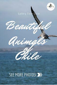 Chile hat eine wunderbare Tierwelt. Wir widmen ihr eine eigene Galerie. Lonely Planet, Chile, More Photos, Journey, Gallery, Movies, Movie Posters, Photos, Types Of Animals