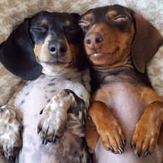 These babies fill my heart with joy along with any other animal #dachshund