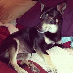 Jacob is an adoptable Shiba Inu Dog in Las Vegas, NV. Jacob is a 3 year old Shiba Inu mix.  He is very affectionate and likes to play with other dogs.   Jake is 20 pounds and looking for love! Prior t...