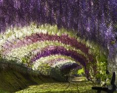 I want to go here! So pretty!!!! Enchanting Wisteria Tunnel of Kawachi Fuji Gardens, Japan