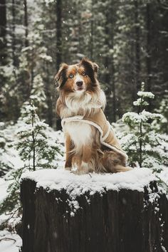 "Souhailbog: "" winter jackets on by ryan field more "" animals Australian Shepherds, Australian Shepherd Puppies, Aussie Puppies, Cute Puppies, Cute Dogs, Dogs And Puppies, Doggies, Beautiful Dogs, Animals Beautiful"