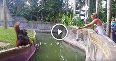 Nagyon komoly orangután játszani kezd egy állatkerti látogatóval- Nézd milyen…