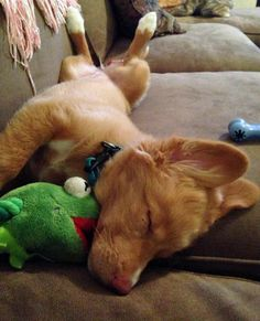Maple the Nova Scotia Duck Tolling Retriever, sleeping after a hard day's work...