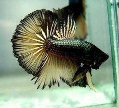 Black yellow betta ⚡