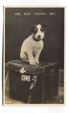 Jack Russell dog 1918. C.H.