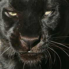 I awoke in the middle of the night in the middle of my dream, an enormous panther walking beside me. Black Panthers, Into The Fire, Ocelot, Marvel Cinematic Universe, Belle Photo, Big Cats, Animal Kingdom, Persona, Cute Animals
