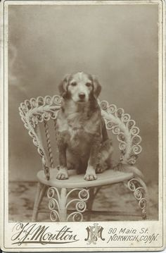 c.1890 cabinet card of sweet dog sitting in photographer's fancy wicker chair. Photo by F.J. Moulton, 90 Main St., Norwich, Conn. From bendale collection