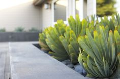 Fan aloe is drought tolerant but looks best with some supplemental water and shelter from harsh sun. If you live in a climate with freezing winters, consider planting fan aloe in a decorative container and bringing it inside over winter. This slow-growing, long-lived succulent is a landscape investment but will add tremendous value to any bed — plus it can be propagated by cuttings.