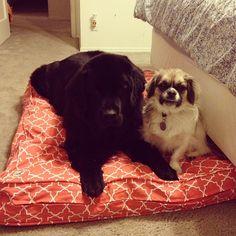 "@emmy985837's photo: ""We love our new #mollymutt bed. Thanks Santa #newfie #newfoundlanddog"""