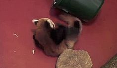 Red Panda Cubs' Pounces Just Miss Each Other