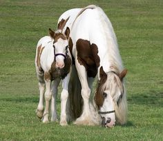 baby paint horse and it's mother