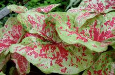 red caladiums - Google Search