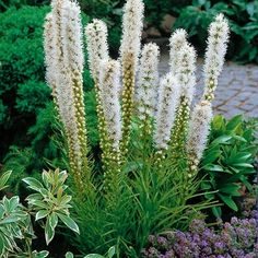 Brighten your summer garden by moonlight with white blooming plants. Create a Moonlight Garden with white or lighter colored blooming plants. White Flowering Plants, Blooming Plants, White Plants, Flowers Perennials, Planting Flowers, Perennial Border Plants, Butterfly Garden Plants, White Flower Farm, White Flowers
