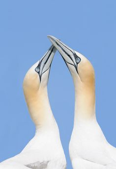 Classic Gannet Love Pose - Northern Gannets in a classic love pose at Bass Rock in the Firth of Forth, Scotland.  Best wishes and have a nice day,  Harry