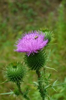 Wisconsin Wildflowers. Purple Thistle. I believe there are old recipes to make jelly or tea out of this plant.