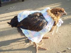 someone actually crocheted a chicken sweater. Cute Chickens, Raising Chickens, Chickens Backyard, Chicken Clothes, Chicken Sweater, Chicken Pictures, Crochet Chicken, Pet Clothes, Animal Clothes