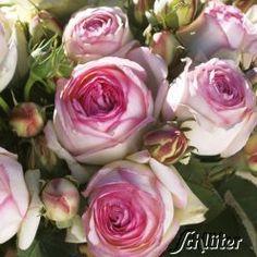 Nostalgische Strauchrose 'Eden Rose®', 150 - 200 hoch und 60 - 80 breit, blüht 6 - 9, sonnig