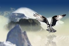 #air #animal #bird #bird of prey #clouds #element #mountains #plumage #raptor #spring #water #white tailed eagle