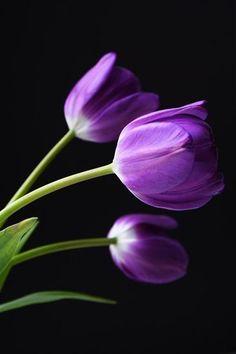 Purple Tulips on Black Background, purplegem: via media. Purple Tulips, Purple Love, Tulips Flowers, All Things Purple, Flowers Nature, My Flower, Pretty Flowers, Flower Vases, Flower Art