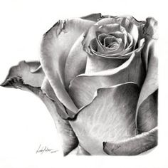 Rose Drawing - by Linda Huber