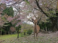 Hanami at Nara, Japan