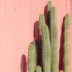 These are wonderful cacti by @plantsonpink I love their account and their posts! Go follow them!!!!! @plantsonpink @plantsonpink @plantsonpink