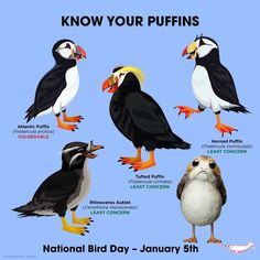 Know Your Puffins by PepomintNarwhal Fun Facts About Animals, Animal Facts, Nature Animals, Animals And Pets, Cute Animals, Octopus Vulgaris, Puffins Bird, Animals Information, Beast Creature