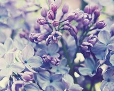 "Flower photograph - pale purple - lilac - lavender - pastel spring flowers - nature wall art botanical print floral art ""Scent of Lilac"" """