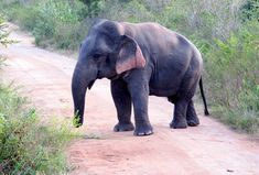 Elephant with dwarfism, about 5ft tall and fully grown.