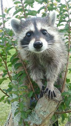 Our little raccoon Luna                                                                                                                                                                                 More