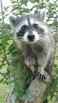 Our little raccoon Luna                                                                                                                                                                                 More