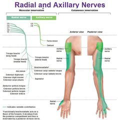 Best website to study peripheral innervation! radial and axillary nerves muscular and cutaneous innervation Axillary Nerve, Nerve Anatomy, Radial Nerve, Peripheral Nervous System, Peripheral Nerve, Muscle And Nerve, Human Anatomy And Physiology, Medical Anatomy, Muscle Anatomy