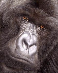 Rwanda Mountain Gorilla Safaris-Searching for the gorillas is an unforgettable experience, and the beauty of the jungle and mountain scenery are amazing. for more infomation, visit our Website http://www.africancircuitsafaris.com/rwandamountaingorillasafaris.html